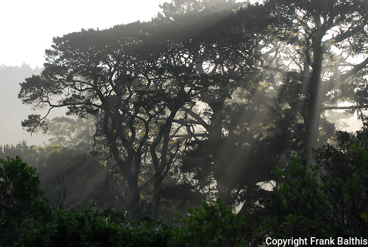 Morning fog in forest at Ano Nuevo SR
