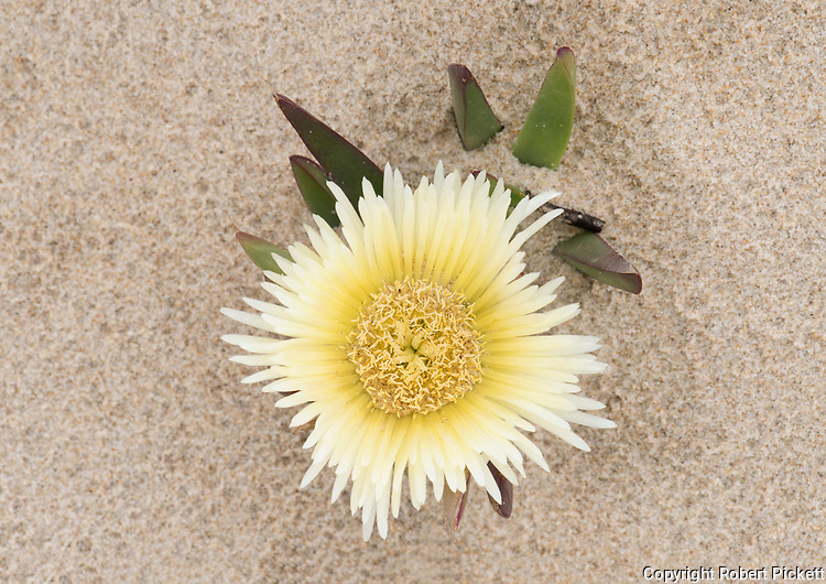 Hottentot-fig, Carpobrotus edulis, Ria Formosa East, Praia do Barril Beach, Algarve, Portugal, creeping, mat-forming succulent species and member of the fig-marigold family Aizoaceae