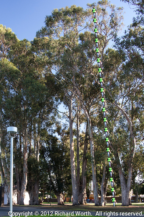 """To help express how tall the eucalyptus trees are at  Washington Manor Park, a passerby has been """"stacked"""" on himself over and over.  These trees are at least 20 people tall."""