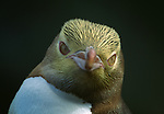 Yellow-eyed penguin, Enderby Island, New Zealand