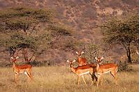 Impala in Samburu National Park, Kenya