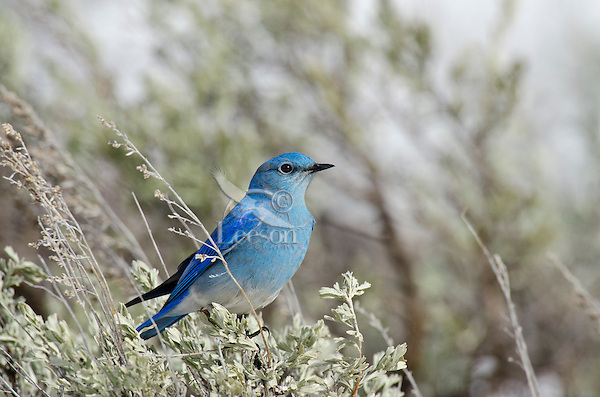 Male Mountain Bluebird (Sialia currucoides) sitting in sagebush with late melting snowbank in background.  Western U.S., May.