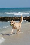Golden retrievers playing in ocean