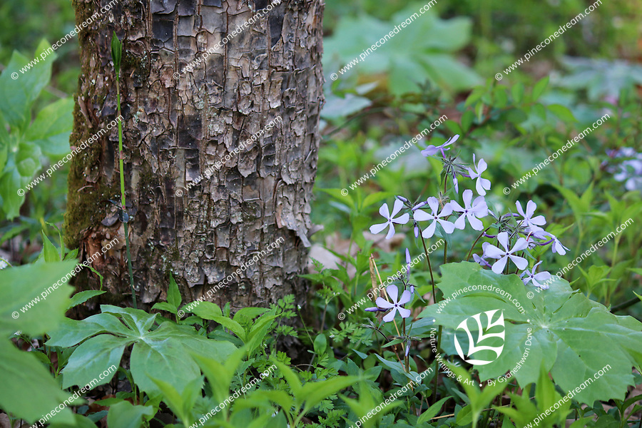 Tiny plant of Blue Phlox wildflowers blossom near the foot of a tree, surrounded by lush green spring vegetation, at the great smoky mountain national park, USA. - Free nature stock photo.