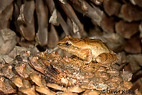 0302-0921  Spring Peeper Frog on Fallen Pine Cones, Pseudacris crucifer (formerly: Hyla crucifer)  © David Kuhn/Dwight Kuhn Photography