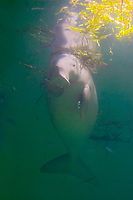 dugong, Dugong dugong (c), Indo-Pacific Ocean