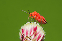 Shield bug, Stink bug (Hemiptera), adult on flower, Sinton, Corpus Christi, Coastal Bend, Texas, USA