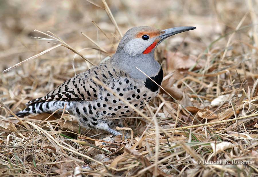 Northern Flicker (colaptes auratus), Fort Collins, Colorado