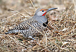 Northern Flicker (colaptes auratus), Fort Collins, Colorado