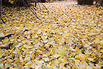 Fallen yellow leaves in autumn of Common Lime tree, Sutton, Suffolk, England