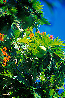 Breadfruit, ulu, tree with flowers, on Oahu