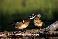00715-04902   Wood Duck (Aix sponsa) male preening female on log in wetland Marion Co.  IL