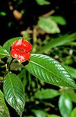 Amazon, Brazil. Psychotria poeppigiana.; plant which looks like a woman's lips; believed to be an aphrodisiac.