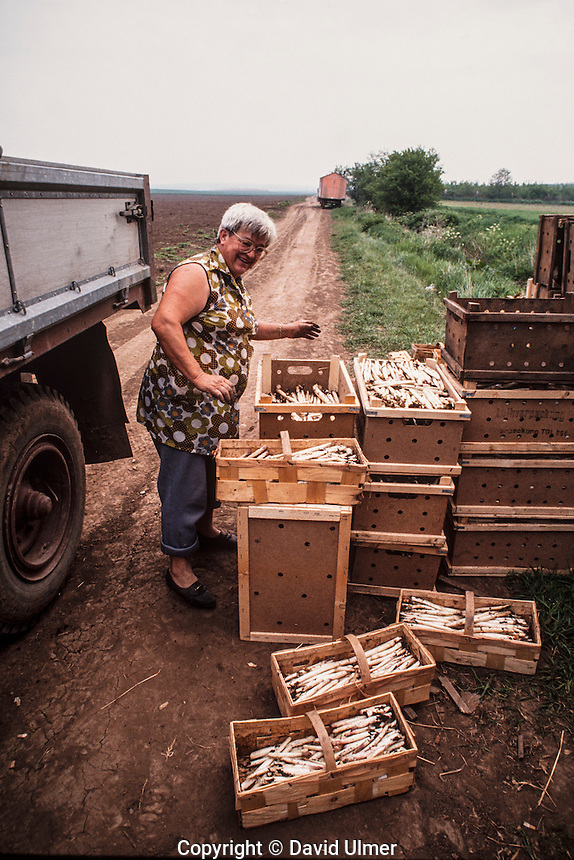 Woman packing white asparagus (spargel) fresh from the field at EBG Karl Marx communal farm, Grossfahner, East Germany, May 1990