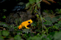 480060001 a captive golden toad incilius periglene perches in leaf litter in its terrarium in the long beach aquarium