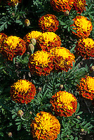 Tagetes patula  'Boy Series' 'Harmony Boy' Wisley Trials 4 (French Marigold)