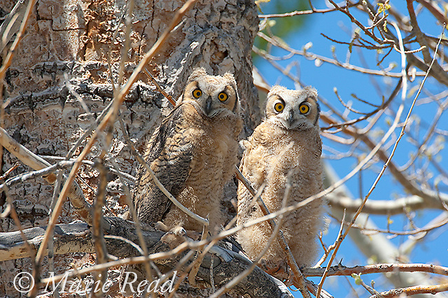 """Great Horned Owl (Bubo virginianus), two recently fledged chicks perched in tree, Mono Lake, Basin, California, USA. They still show some down in their plumage and have only small """"ear"""" tufts."""