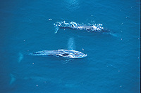 aerial of fin whales, Balaenoptera physalus, Sea of Cortez, Mexico, Pacific Ocean