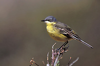 Eastern Yellow Wagtail - Motacilla tschutshcensis - Adult male breeding