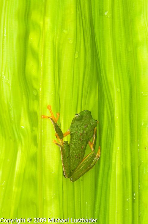 Monkey Treefrog (Phyllomedusa Vailanti)