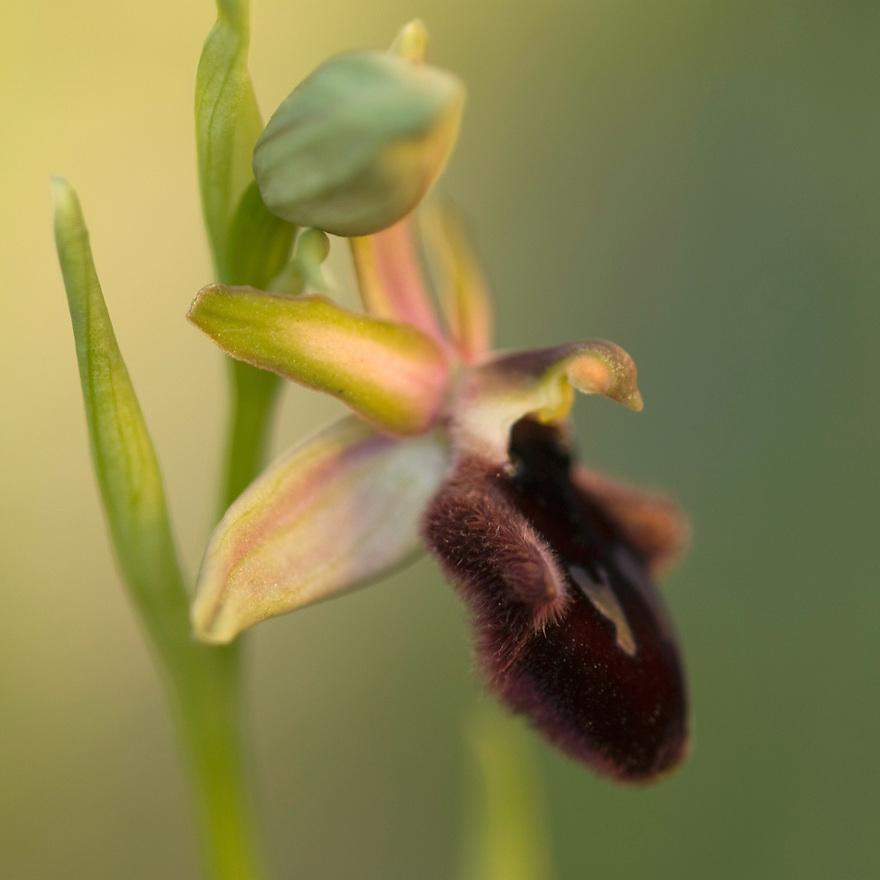 Apulia; Gargano National Park; Gargano Peninsula; Italy; Monte Sacro; Ophrys promontorii; Promontory Orchid