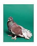 Standard pigeon