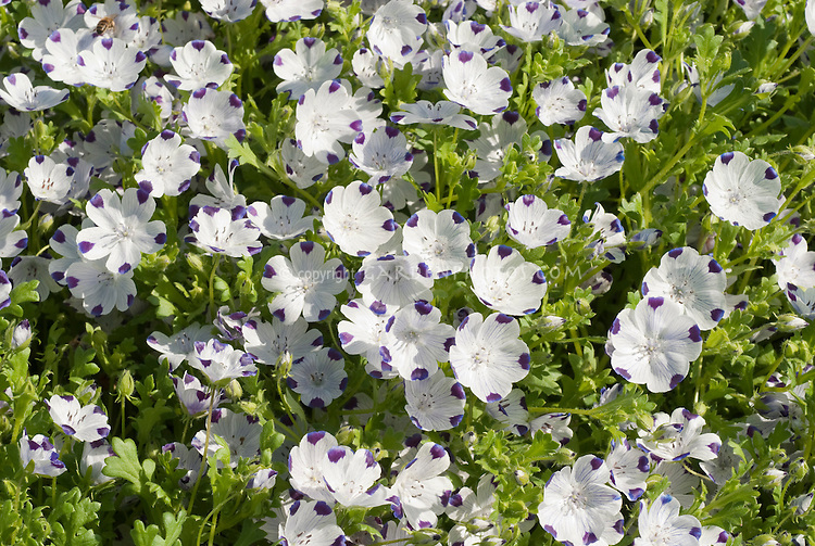 California endemic native wildflower Nemophila maculata in blue flowers
