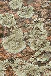 Map Lichen, Rhizocarpon geographicum, on rocks, Sierra de Andujar Natural Park, Sierra Morena, Andalucia, Spain