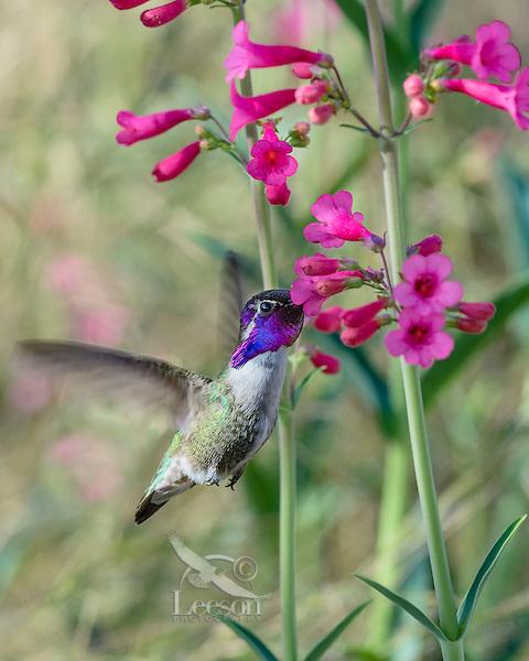 Male Costa's Hummingbird (Calypte costae) feeding on Parry's Penstemon wildflower.  Arizona.  Feb-March.