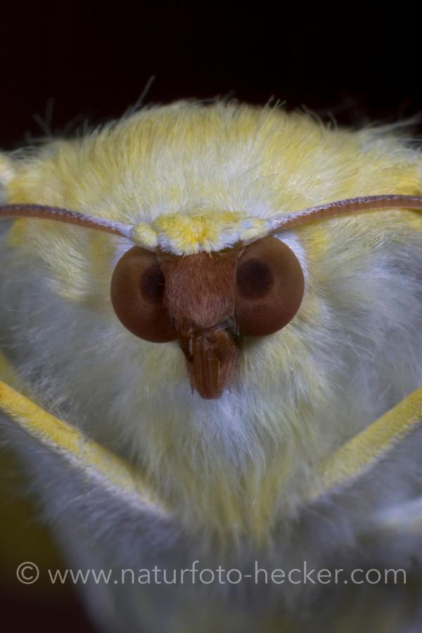 Nachtschwalbenschwanz, Nacht-Schwalbenschwanz, Holunderspanner, Ourapteryx sambucaria, swallow-tailed moth, La Phalène du sureau, Phalène soufrée, Spanner, Geometridae, looper, loopers, geometer moths, geometer moth, Spannerraupe