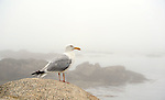 Seagull on Shore Rock on a Misty Morning in Maine, USA