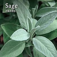 Sage Pictures | Sage Food Photos Images & Fotos