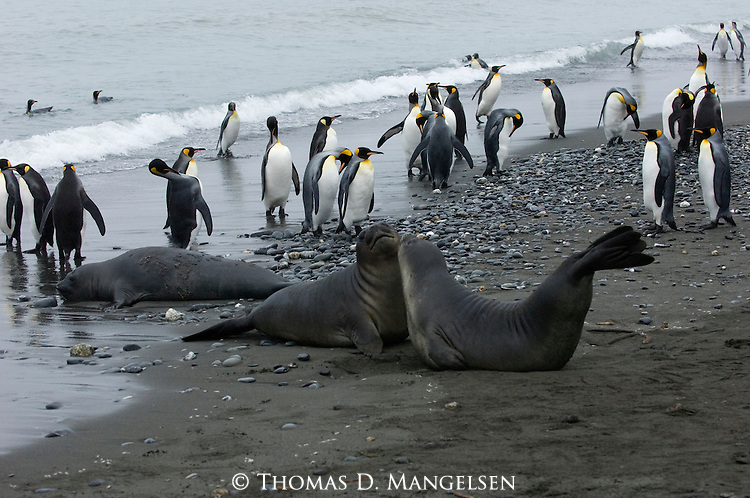 Southern elephant seals and king penguins on a South Georgia Beach in the Salisbury Plain area.