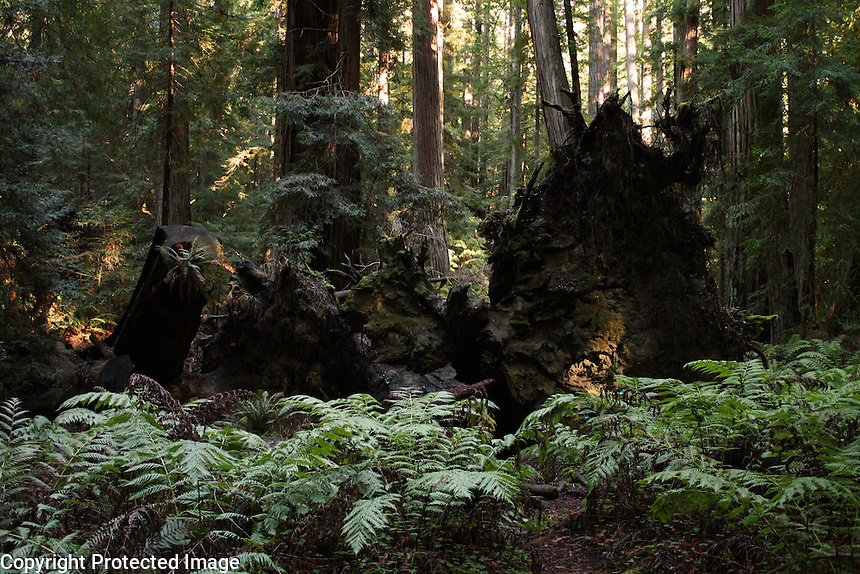 Ferns surround an expanse of unearthed redwood tree roots in Montgomery Woods above Ukiah in Mendocino County in Northern California.