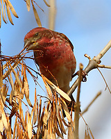 Male purple finch eating ash seeds