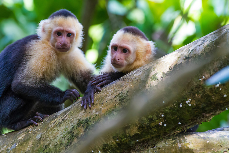 Capuchin monkeys in the trees at Manuel Antonio National Park, Costa Rica