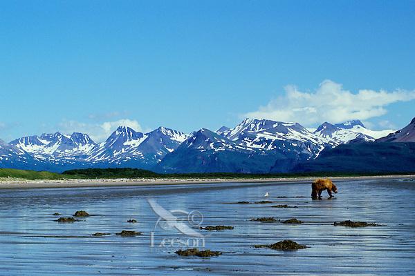 Ma918  Alaskan Brown Bear (Ursus arctos) digging razor clams on Alaskan beach.