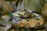 489250013 a captive gaboon viper bitis gabonica sits coiled in leaf litter species is a ground dwelling deadly viper it is the heaviest and has the longest fangs of any viperid and is native to western sub-saharan africa