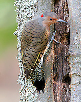 Adult female northern yellow-shafted flicker