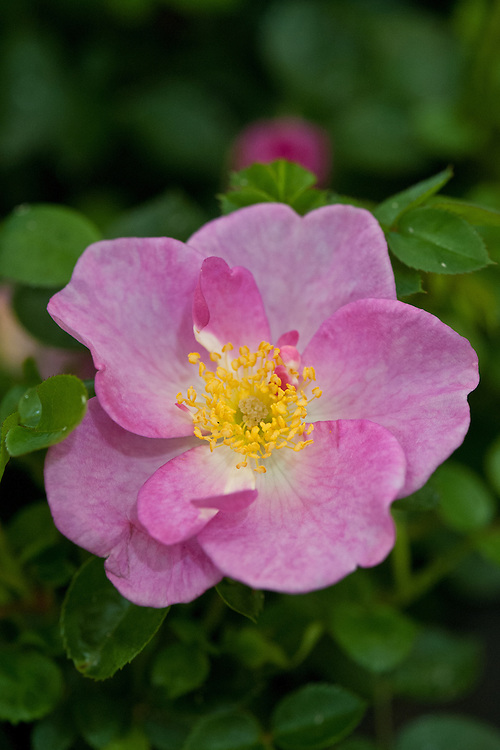 Rosa Violet Cloud ('Harquick'), early July. A compact patio rose with single pink flowers.