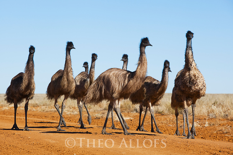 Australia,  NSW, Sturt National Park; Group of emus (Dromaius novaehollandiae) on road; the emu population increased dramatically after the recent rains in the previous 3 years following 8 years of drought