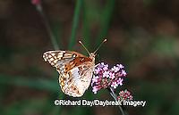 03312-003.13 Variegated Fritillary (Euptoieta claudia) on Verbena Bonariensis Marion Co.  IL