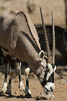 Oryx (or gemsbok) are unmistakable with their bold black facial markings and their long straight horns.  Part of the reason for their success in Namibia is their great adaptability. For example, they can survive without drinking water when necessary provided they can graze or browse or even dig up roots, bulbs and tubers.
