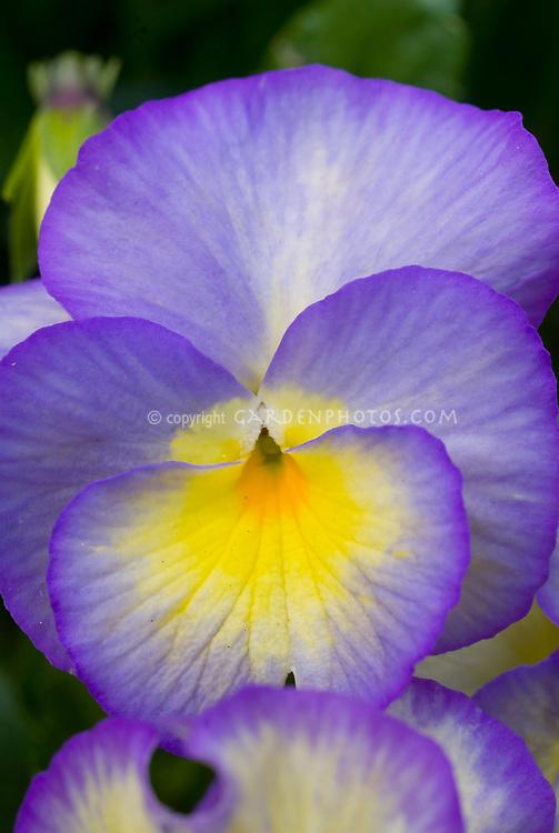 Viola Zoe, violets in bloom