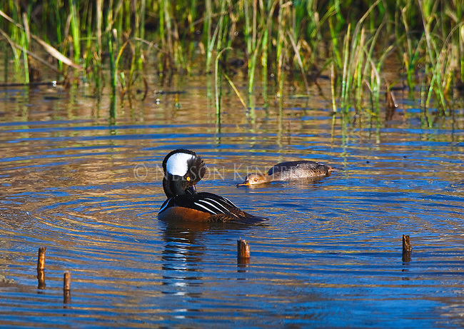 Hooded Merganser drake and hen in a mating display