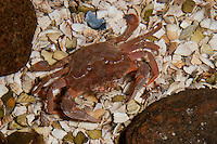 Gemeine Schwimmkrabbe, Schwimm-Krabbe, Ruderkrabbe, Ruder-Krabbe, Liocarcinus holsatus, Portunus holsatus, Macropinus holsatus, common swimming crab, flying swimming crab