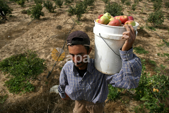 "Palestinian Farmers harvest "" Apples"" from their farms in Khan Younis in the southern Gaza Strip, on June 8, 2013. Palestinian Companies success in rented a liberated territories in the Southern of Gaza Strip in a production of apple harvest, which Farmers predict that the harvest of apples production will increase 1000 tons in this year. Photo by Eyad Al Baba"