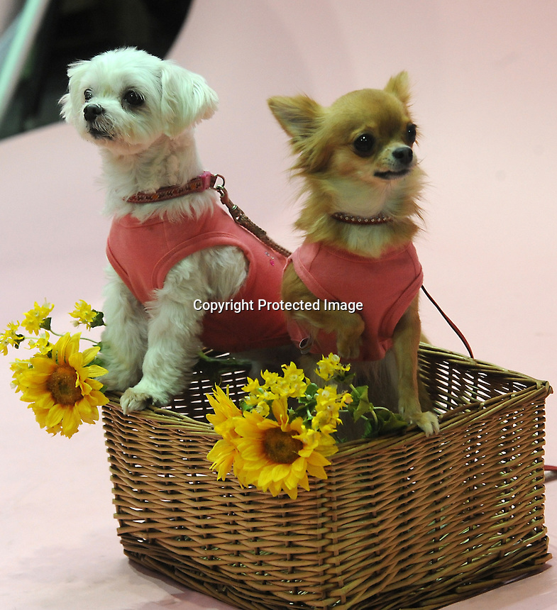 A miniature dogs poses for a photo-shoot at the Osaka Pet Expo and fashion show, Osaka, Japan.<br /> 25-Sep-11<br /> <br /> Photo by Richard Jones