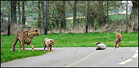 BNPS.co.uk (01202 558833)<br /> Pic: IanTurner/BNPS<br /> <br /> Watch with mother...Longleat's Cheetah cubs get a lesson in hunting.<br /> <br /> Two cheeky cheetah cubs have proven they were born to run - showing off their impressive speed for the first time.<br /> <br /> The six-month-old rare twins Poppy and Winston, the first cheetahs ever to be born at Longleat Safari Park in Wiltshire, have started developing the hunting skills they would need in the wild.<br /> <br /> Keepers at the wildlife park set up a speeding lure, similar to those used at greyhound races, to put the youngsters through their paces.