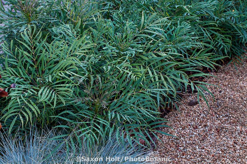 Mahonia 'Soft Caress' leafy foliage shrub; Sunset Plants, Mahonia eurybracteata ssp. ganpanensis, Threadleaf Mahonia